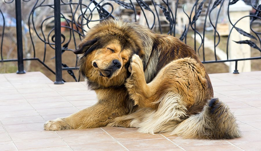 dog itchy ears
