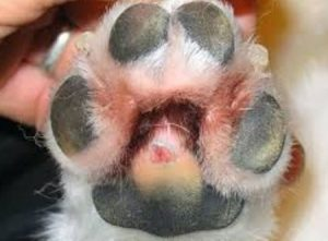 Yeast Infection on Paw
