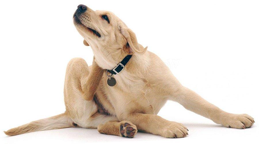 get rid of fleas on dog