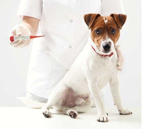 Dog temperature check