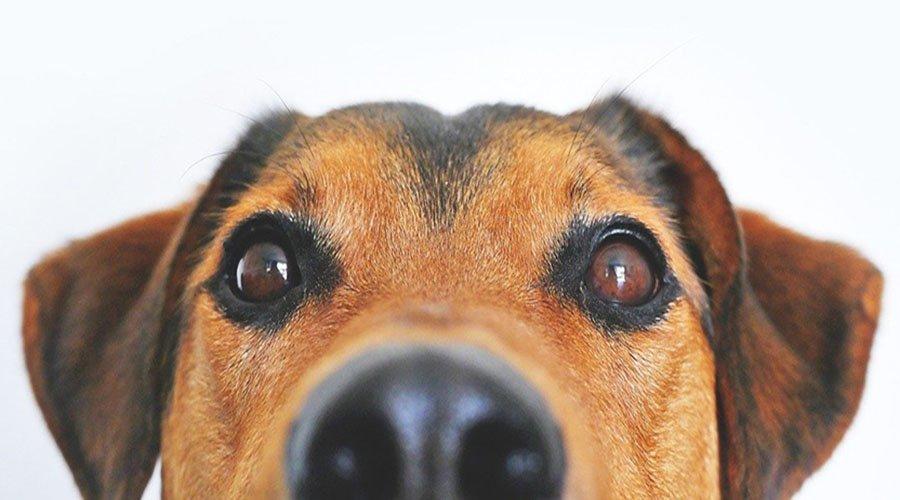 Long nose dog breeds