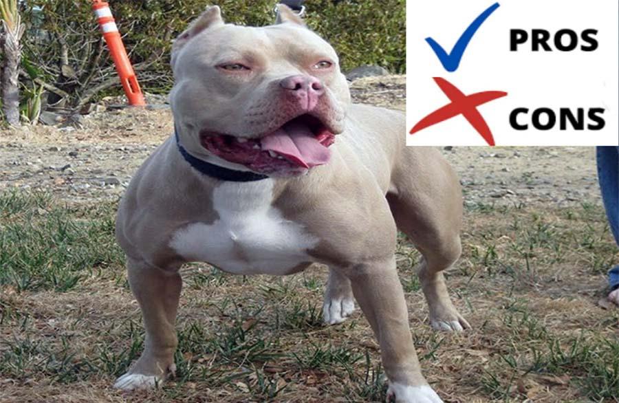 Blue-Fawn-Pitbull