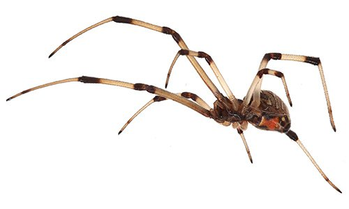 Brown_widow_spider