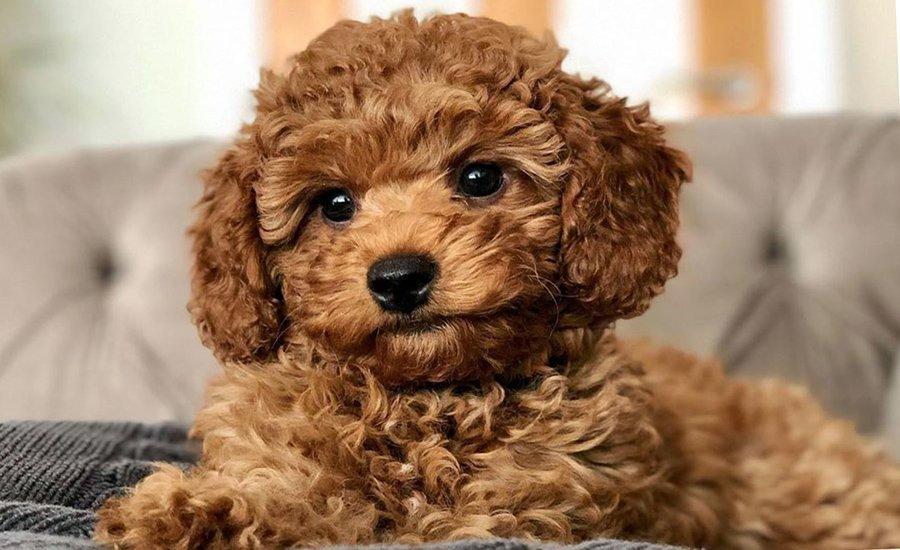 Cavapoochon Dog Breed