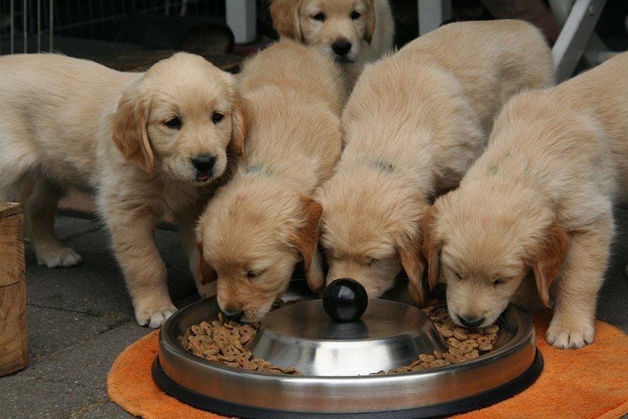 Golden Retrievers Eating Food