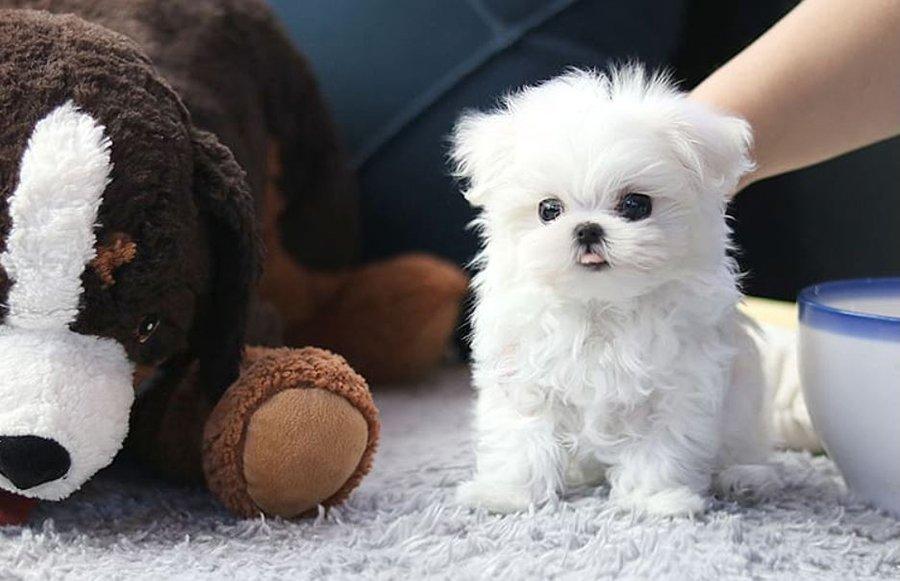 Teacup Dog Breed