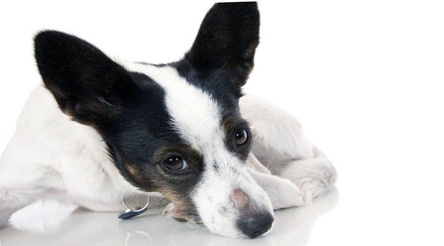 Ringworm-in-dogs
