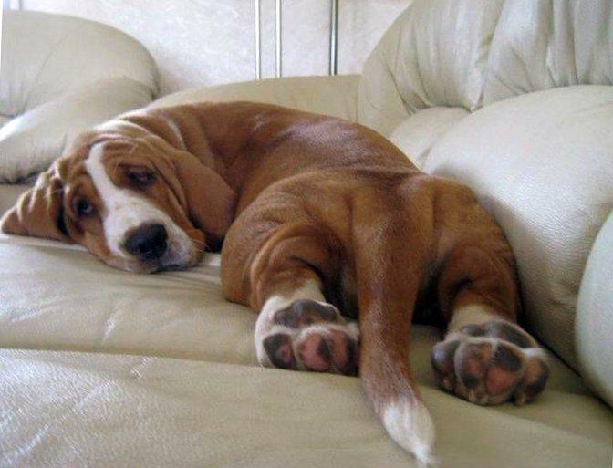 laid-back-dog